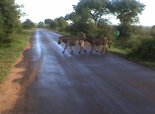 overstekende zebra's