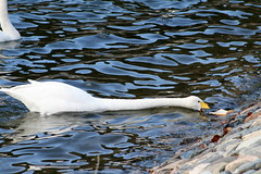 **S-T-R-E-E-E-E-E-T-C-H** (Queenscents) Tags: blue brown white reflection nature water japan stone river swan movement flickr wildlife beak feather wave explore fpc yellowbeak mywinners queenscents