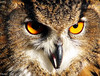 Would You Mind Getting That Thing Out Of My Face... (~fb~) Tags: orange nature female big eyes wildlife beak feathers bubbles southendhighstreet birdofprey eagleowl platinumphoto anawesomeshot notcaged 210208 21stfebruary2008