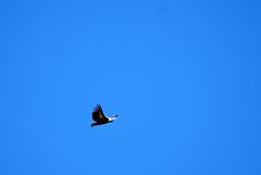 buitre leonado (crelabora) Tags: lad vulture garon buitre leonado griffon fauve rapaz gyps fulvus vautour carroero geselle