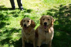 The Girls (Zigg_Zagg) Tags: goldenretriever gabby goldenretrieverpuppies gabbyandsunshine