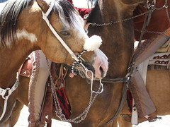 Rostro equino (Myrkha) Tags: santa mexico caballo zacatecas jinete semana jerez charro montura galope sabadodegloria