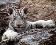 Baby White tiger (Zooaholic) Tags: zoo wildlife tulsa babywhitetiger flickrbigcats