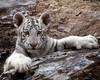 Baby White tiger (Zooaholic) Tags: zoo wildlife tulsa babywhitetiger flickrbigcats