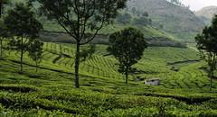 12 Tea gardens