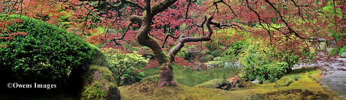 Under THAT Maple Tree ~pano 1