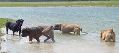 Maggie, Napoleon, Dozer, Rex (muslovedogs) Tags: playing dogs maggie napoleon rex canecorso mastweiler