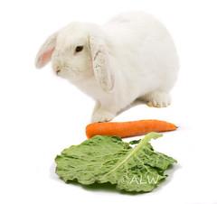 Snowy & Snacks (AnimalLoversWeb) Tags: snowy greens carrots snacks rabbits whiterabbits dwarfloprabbis