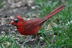 Northern Cardinal {Cardinalis cardinalis} by Birdfreak.com