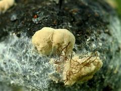 Puuviljamädanik   (Monilia fructigena). (Imbi Vahuri) Tags: imbivahuri fungi seened ascomycota kottseened leotiomycetes hüüvikseened