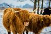 20170211-IMG_2661 (SGEOS AT EARTH) Tags: schotse hooglander highland cattle scottish oerossen wildlife nature outdoor observer canon konikpaarden wilde paarden konik polish
