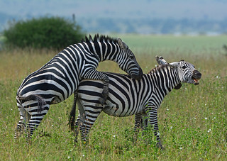 Love or War? Mating Zebras - 8897b+