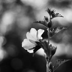 Hibiscus (ΞSSΞ®®Ξ) Tags: ξssξ®®ξ pentax k5 flower summer angle 2016 hibiscus squareformat bokeh smcpentaxm50mmf17 blackandwhite monochrome depthoffield plant blossom garden outdoor serene