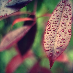 After the rain (~aspidistra~) Tags: red green garden 50mm nikon bokeh explore raindrops photinia 231 d90 hbw