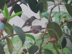 Hummingbird + Nest in the garden (Schill) Tags: hummingbird trochilidae wildbird