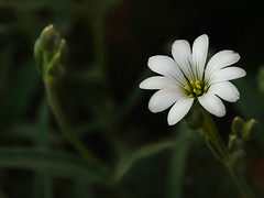 Sing My Song into the Wind (E.L.A) Tags: light summer white plant flower macro green nature beautiful beauty horizontal closeup composition contrast turkey garden dark season outdoors photography whiteflower spring amazing fantastic stem focus europe day open darkness bright image bokeh background details nopeople petal growth excellent pollen wildflower magical ankara brilliant contrasts smallthings freshness gettyimages stockimages composed flowerhead shading singleflower capitalcities singleobject colorimage fragility beautyinnature uncultivated frontorbackyard abigfave