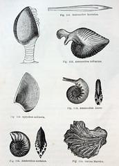 Anglų lietuvių žodynas. Žodis ammonites reiškia <li>amonitai</li> lietuviškai.