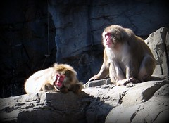 Animals - Monkeys - Snow Monkeys - Japanese Macaque - Central Park NYC (blmiers2) Tags: park nyc newyorkcity urban snow newyork nature beautiful animal animals canon japanese zoo monkey washingtondc blog centralpark central powershot monkeys g6 animalplanet saru macaque japanesemacaque snowmonkeys macacafuscata 200711 blm18 blmiers2