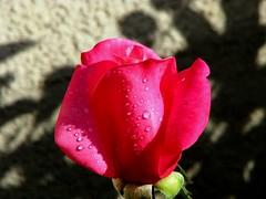 Grandma's Rose (jophiteer) Tags: canon poweshot s5is