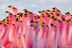 Flamingos Partying (szeke) Tags: pink lake bird water animal landscape pretty place wildlife flamingo bolivia pinkflamingo soe altiplano birdwatcher lagunahedionda blueribbonwinner littlestories piratetreasure supershot birdphoto flickrsbest specanimal animalkingdomelite naturesgallery andeanflamingo goldmedalwinner cmeradeourobrasil anawesomeshot impressedbeauty avianexcellence megashot top20pink elegantgroup ysplix excellentphotographerawards theunforgettablepictures colourartaward wonderfulworldmix natureoutpost excapture flickrslegend thegardenofzen goldwildlife nginationalgeographicbyitalianpeople goldstaraward jamessflamingo phoenicopterusjamesi punaflamingo picswithsoul absolutelystunningscapes naturescreations