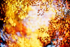 golden days (moaan) Tags: life leica autumn light sunlight beautiful leaves sunshine yellow 50mm gold maple dof shine bokeh f10 momiji japanesemaple kobe rokko noctilux tinted mapleleaves leicam7 2007 autumnalleaves m7 rvp fujivelvia tinged explored fujirvp inlife leicanoctilux50mmf10 bokehwhores thebestyellow gettyimagesjapanq1 gettyimagesjapanq2