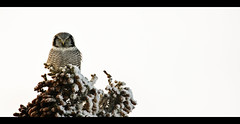 Northern Hawk Owl (eyebex) Tags: snow tree deleteme9 animal delete10 published save3 saveme10 yukon owl perch perched prey predator 310 pinecones brid spow