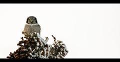 Northern Hawk Owl (eyebex) Tags: snow tree deleteme9 animal delete10 published save3 saveme10 yukon owl perch perched prey predator 310 pinecones brid spow