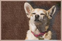 Enjoying the Rain (Life of David) Tags: dog pet chihuahua rain photoshop painting gracie none raining smrgsbord naturesfinest blueribbonwinner artisticexpression platinumphoto diamondclassphotographer wwwdavidlevinsonphotographycom