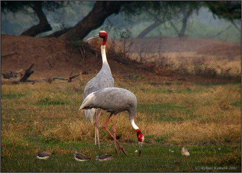 Sarus Crane Pair
