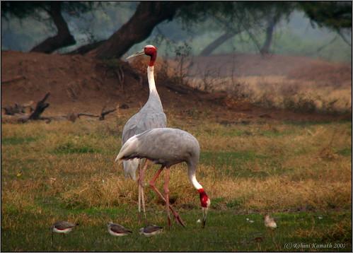 Sarus Crane Pair