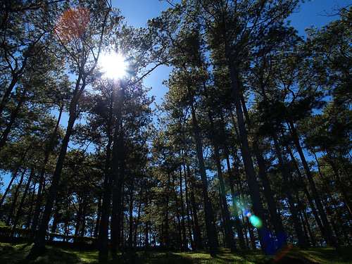 pine trees baguio city philippines summer capital