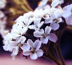 Tiny White Flowers (Studio 950) Tags: white flower color macro petals nikon small pistil stamen coolpix delicate fragile naturesfinest studio950
