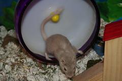 Kyo (AnnDeeScraps) Tags: pet animal gerbil kyo