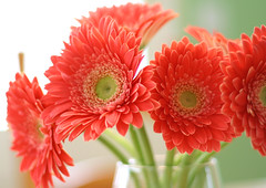 another flower shot (chromatophobe) Tags: flowers flower daisies gerbera sigh daisy vase bouquet yetagain