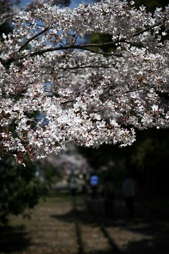 インクラインの桜2