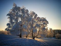 Vintersolverv / Winter Solstice (Krogen) Tags: trees winter norway landscape norge vinter december norwegen noruega scandinavia akershus desember soe romerike krogen landskap trær noorwegen noreg ullensaker skandinavia nordbytjernet olympuse400 redynamix