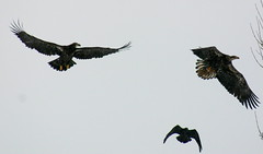 1 of 5 (sgbaughn) Tags: baldeagle bald raptor eagles