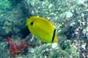 Andaman Butterflyfish on Koh Ngai Island