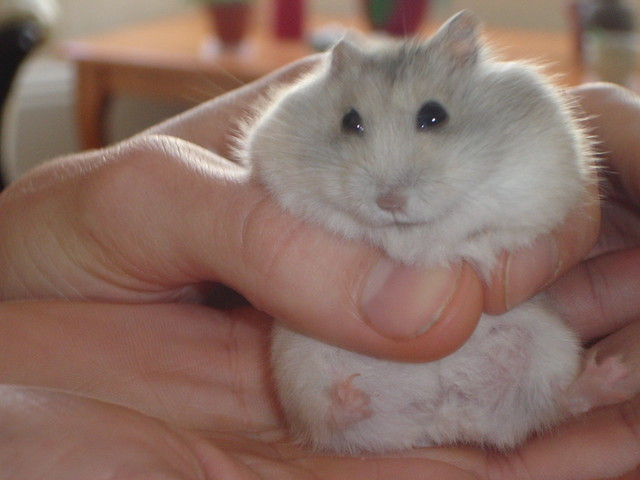 Dwarf Russian Hamster Winter White