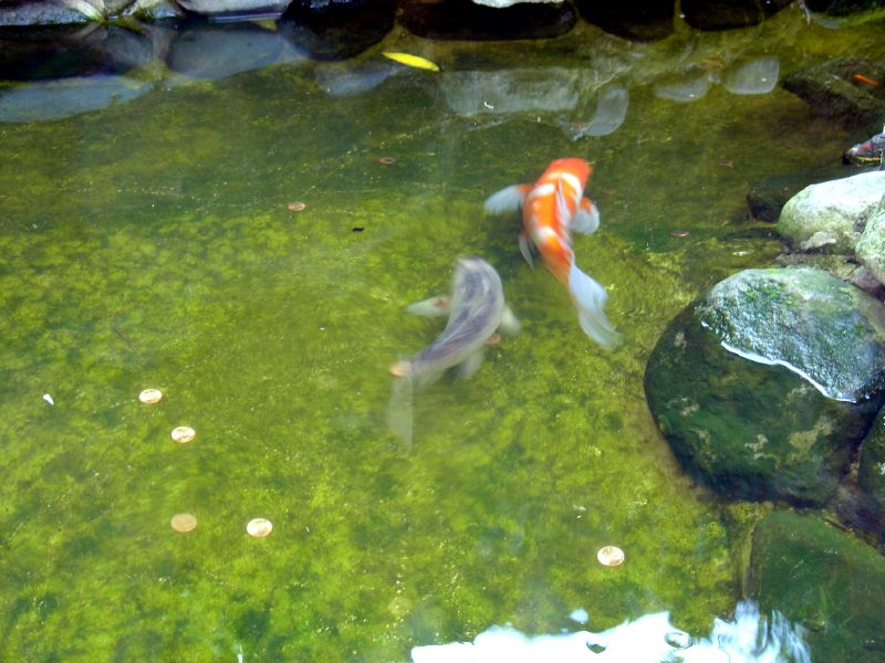 Koi in Pond again