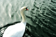 (Art By Monica) Tags: white water beautiful beauty female swimming swan photographer gorgeous grace teen lovely graceful