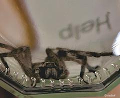 Help!! (radio4) Tags: spider australia neosparassus buzznbugz badgehuntsman