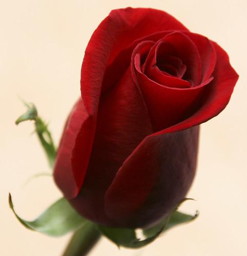 Eine rote Rose
