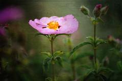 (SMGallery (MooreFoto.com)) Tags: flowers color macro texture nikon dof 105f28vr smgallery nikond300