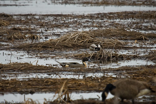 Northern Pintail (2 of 2)