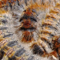 Chenille processionnaire du pin (alterna6969) Tags: voyage france vacances pin south du papillon provence  vasion chenille insecte sud     lubron larves hauteprovence bombyx  thaumetopoea pityocampa processionnaire pityocampe