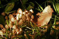 Fungi at Night (Jack High) Tags: autumn macro night garden golden leaf weeds fungi torch funghi backgarden elm magical southaustralia faries coprinus adelaidehills coprinusdisseminatus onlyyourbestshots onephotoweeklycontest