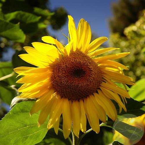 DSC_0007cool sunflowerblog
