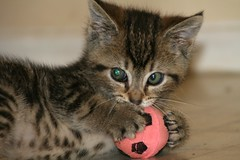 I'm a soccer mom (terri_lg) Tags: rescue brown cat kitten play sandiego soccer tabby tiger foster shelter babycat spp klitter catbehavior shelterpetpartners summer08 terrigreen terrilg