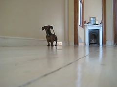 Fritz, the fearless (mallix) Tags: africa dog pet house southafrica miniature video sausage ears canine run capetown dachshund bark worldcup scared breed runaway noise flap fritz vicious barking 2010 wimp scamper sausagedog guarddog obedient soccerworldcup worldcup2010 dakkel dachsy fifa2010